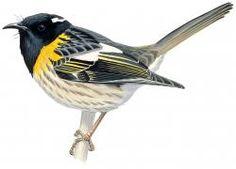 Stitchbird (Notiomystis cincta)