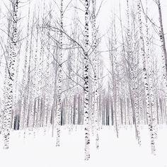 Finnish winter birch forest.