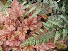 "Heuchera Peach Flambe with Japanese Painted Fern -- both ""a picture of delicate beauty with their intricate leaf veins."""