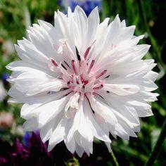 Bachelor's Button White Ball garden seeds - annual flower seeds.