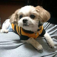 . #オムツ #愛犬 #ちび #シーズー #マルチーズ #ハーフ #chibi #instagram #instagood #pet #dog #love #cute #japan #diaper #shihtzu #maltese #half #followme #🐶