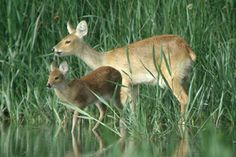 1000+ images about Chinese water deer on Pinterest | Photographs ...