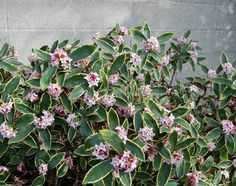 Daphne: Blooms as early as February with a sweet, citrus scent. I have then planted under my l  kitchen windows and the fragrance fills the whole house in the spring/summer months. Easy care, can be pruned back, low hedge.