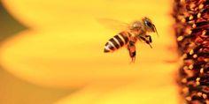 Διπλά τοξικά τα φυτοφάρμακα για τις μέλισσες - Sahiel.gr Insect Bites, Bee Keeping, Victoria, Instagram, Animals, Side Effects, Superfood, Burns, Honey