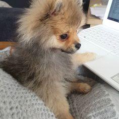4 mnd 😄🐶💕 #pomeranian#leah#hund#pomeranianpuppy#valp#dogsofinsta#dogsofinstgram#pomeranians#pomeranianworld#animalsofinstagram#søt#poms#pomstagram#pomsofinstagram#scarletbeauty#hundeliv#pomeraniannorway#norge