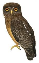 Romblon Hawk-Owl Ninox spilonotus - Google Search