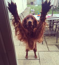 """1,882 Likes, 104 Comments - Trixie (@trixietheirishsetter) on Instagram: """"Hey mum, take a picture of my armpits #irishsetter #redsetter #dogsofinstagram #settersofinstagram…"""""""