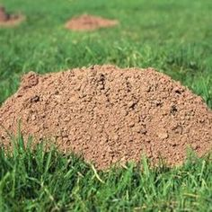 Mole hills in the lawn are unsightly, but eradicating moles is a challenging undertaking.