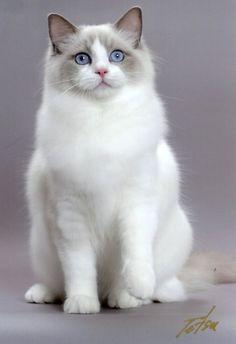 White Himalaya Ragdoll kitty ❤ Look at that beautiful face! Gorgeous. #cats