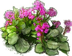 Bergenia cordifolia Puzzle, Drawings, See Through, Photos, Plants, Puzzles, Riddles, Sketches, Drawing