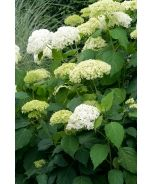Annabelle Hydrangea (Hydrangea arborescens 'Annabelle') - Monrovia - Double click on the picture for more information