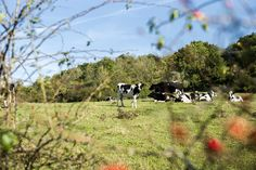 Cows rest in a field near Jouarre, France. Jouarre is situated east of Paris in the Seine-et-Marne département, where Brie has been produced since the seventh century.