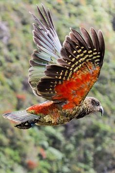 New Zealand Kea / by Alan Gutsell. Arthurs Pass National Park, New Zealand Kinds Of Birds, All Birds, Love Birds, Pretty Birds, Beautiful Birds, Animals Beautiful, Beautiful Pictures, Exotic Birds, Colorful Birds