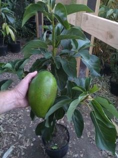 Large Fruit Avocado Trees! Shamus O'Leary's Tropicals. Avocado trees @ $45  Check them out on Facebook for availability Fruit Plants, Fruit Trees, Trees To Plant, Avocado Tree, Tropical Garden, Permaculture, Landscaping, Gardening, Facebook
