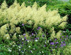 Goat's beard • Aruncus dioicus • Goatsbeard • Plants & Flowers • 99Roots.com