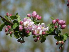 Fleur, Apple, Printemps