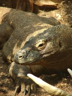 London Zoo is the world's oldest scientific zoo.It was opened in London on April was originally intended to be used as a collection for scientific study. Raja, the male Komodo dragon Zoological Garden, Komodo Dragon, Reptiles, Lizards, London, Zoos, April 27, Nature, Aquariums