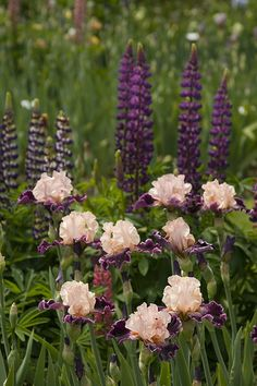 Masterful colour echo in this stand of Iris and Lupines.