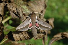 Seathorn Hawkmoth (Hyles hippophaes) 6.5 - 8 cm Europe (France)