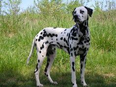 fotos-perros-dalmata
