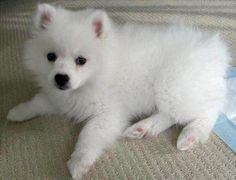 American Eskimo, looks just like my old dog