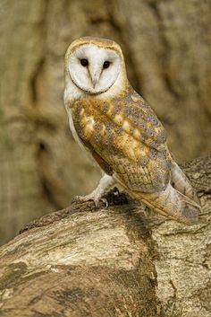 Barn owl -