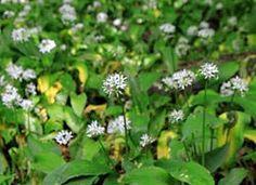 czosnek niedzwiedzi kwiaty Naturalne Leki