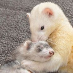 Hugging and Snuggling Ferrets