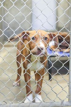 STILL THERE 12/27/14-SUPER URGENT - ODESSA - Staffordshire Terrier male less than a year old Kennel A3 Available NOW**** $51 to adopt I came in to the shelter on November 18th. I LOVE attention!!! I am a wiggle but and so much fun to watch play!!!! Located at Odessa, Texas Animal Control. Must have a valid Drivers License and utility bill with matching address to adopt. They accept Credit Cards, cash or checks. Please send us a PM if we can answer any questions for you.