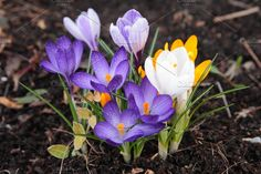 Crocuses by EkaterinaPlanina on @creativemarket