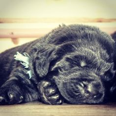 #Newfoundlanddog #puppy sleeping