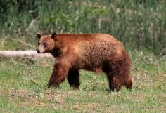 Yosemite bears and human food: Study reveals changing diets over past century