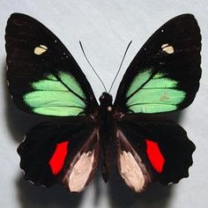 Green-celled Cattleheart (Parides childrenae) (male)