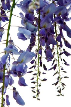Wisteria Blooms Backlit by the Sun