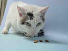 TOBY - A1053153 - - Brooklyn  *** TO BE DESTROYED 10/08/15 *** TERRIFIC TOBY IS AN EIGHT YEAR OLD GENTLEMEN HERE BECAUSE HIS OWNERS MOVED…TOBY came in with his mom, NINI….and now he is on the list….TOBY is a shy, quiet guy who is well-behaved and has lived with children…He is an independent cat and may be well suited where folks are working during the day…..PLEASE DON'T LET TOBY BE KILLED BY A HEARTLESS SHELTER SYSTEM.  FIND A FOSTER OR A