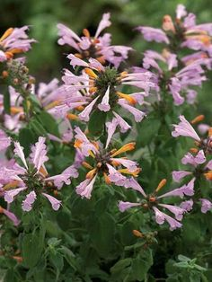 Agastache Arizona Sunset -- Bluestone Perennials