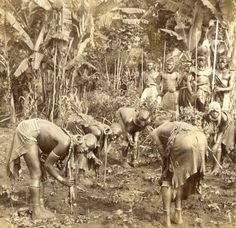 Maidens of a Kikuyu tribe planting beans.  This picture was part of a set of seven steriographic cards published and copyrighted by Underwood and Underwood in 1909 and was taken by James Ricalton in 1908/09 at Wambugu's homestead then located at Nyeri, Kenya. Wambugu wa Mathangani was a well known Kikuyu personage and a man of means - a leader, muthamakii. He was later appointed as a Paramount Chief for that region by the colonial Government.