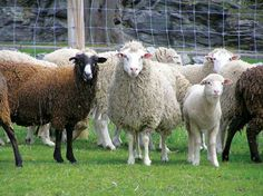 Rare Breeds of Sheep  These rare breeds need engaged stewards to survive.  http://www.grit.com/animals/rare-breeds-zm0z12maznem.aspx