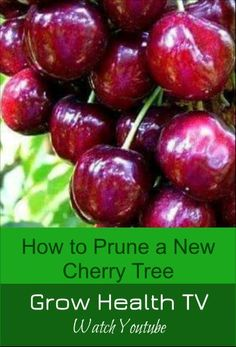 Gain confidence in pruning your new cherry tree in your backyard or garden. #fruittree #pruning #garden #gardening Organic Fruits And Vegetables, Fruit And Veg, Cherry Tree, Cherry Fruit, How To Gain Confidence, Fruit Garden, Growing Tree, Fruit Trees, Backyard