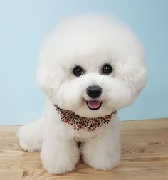 Too cute for words....Smiling Bichon Frise