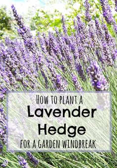 How to plany a lavender hedge as a garden windbreak | PreparednessMama
