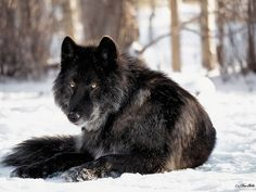 Black wolf 'Zeus' sitting out in the sun.