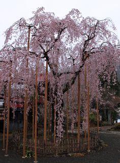 長楽寺のしだれ桜 #sakura #CherryBlossom