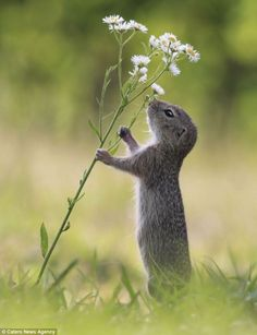 http://www.dailymail.co.uk/news/article-2681031/Even-squirrels-time-smell-daisies-Moment-inquisitive-creature-took-s...