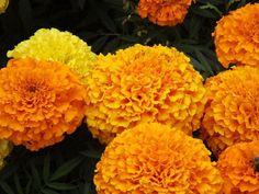 Marigold Flower(Yellow-Orange Colour)