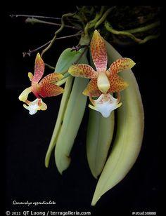 Grosourdya appendiculata. A species orchid