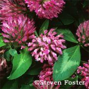 Red clover - Penn State Hershey Medical Center
