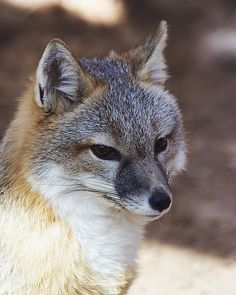 An outstanding close-up shot of the Swift Fox- well defined and certainly a captivating image!!