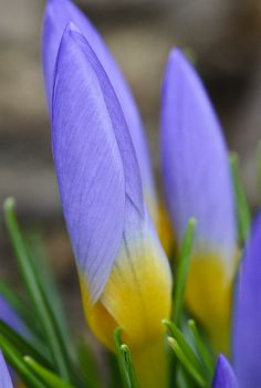 This image of a budding crocus was captured in Seattle, WA on Feb 4, 2014.