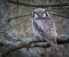 Hökuggla / Northen Hawk-Olw  (Surnia ulula)   photo: ©Dan Frendin